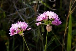 Blüte vom wilden Knoblauch (2)