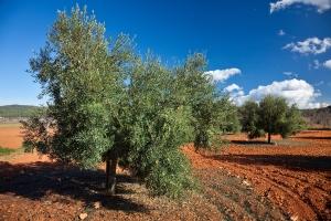 Olivenernte  (1)