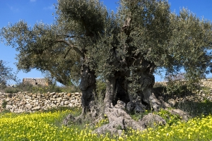 uralte Olive bei santa Agnes (1)